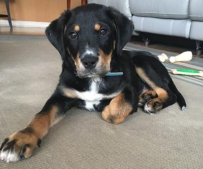 Become a puppy raiser